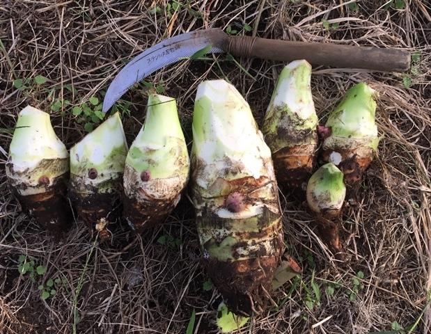 収穫した筍芋