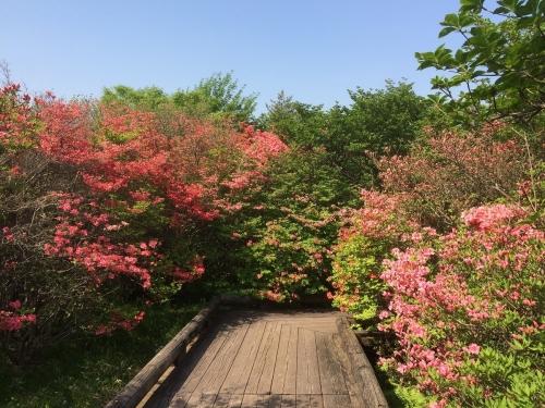 八幡のつつじ群生地 (3)