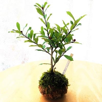 KONOHA苔玉 (2)