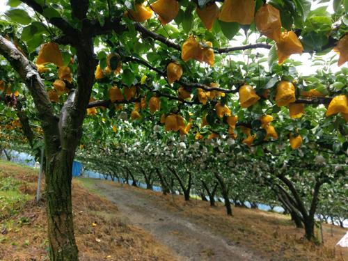 2170912梨の木