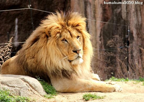 ライオン_1632