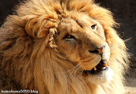 ライオン_1645