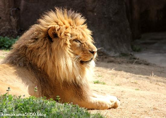 ライオン_1646