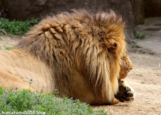 vライオン_1648