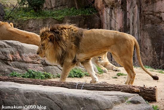 ライオン_1650