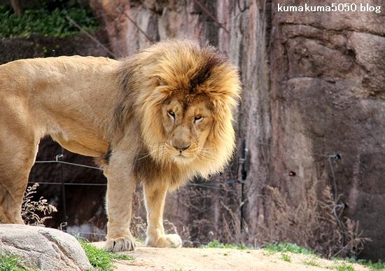 ライオン_1663