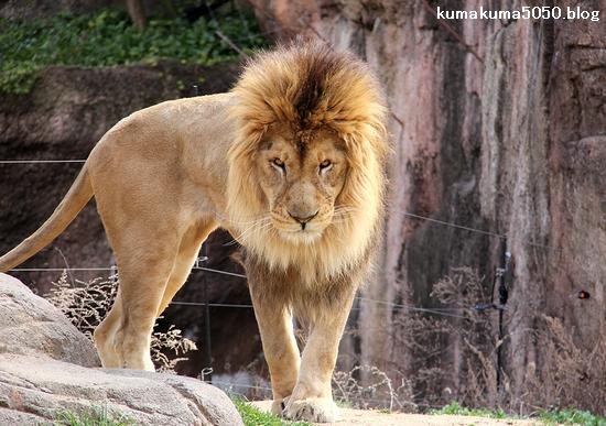 ライオン_1664