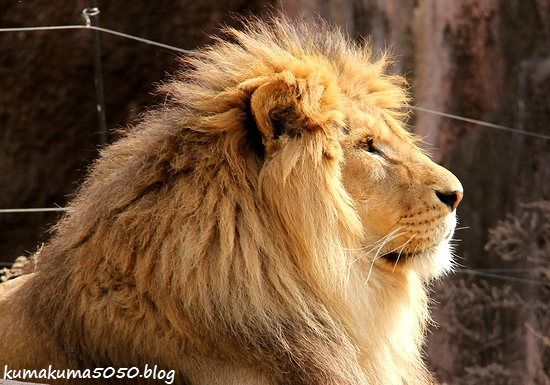 ライオン_1668