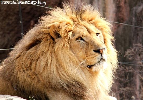 ライオン_1671