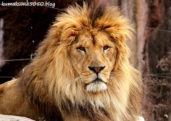 ライオン_1674