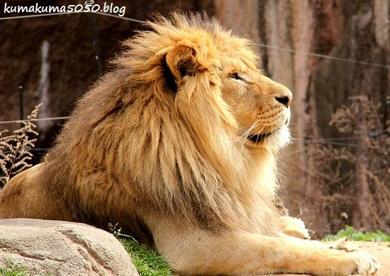 ライオン_1676