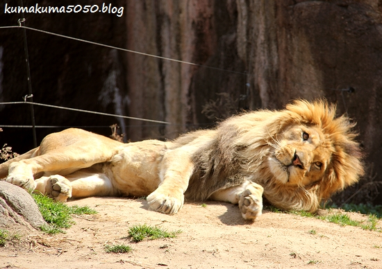 ライオン_1693
