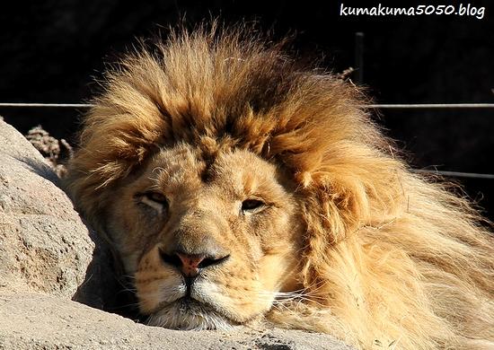 ライオン_1717