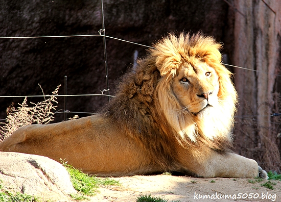 ライオン_1736