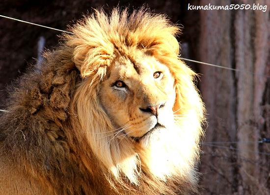 ライオン_1737