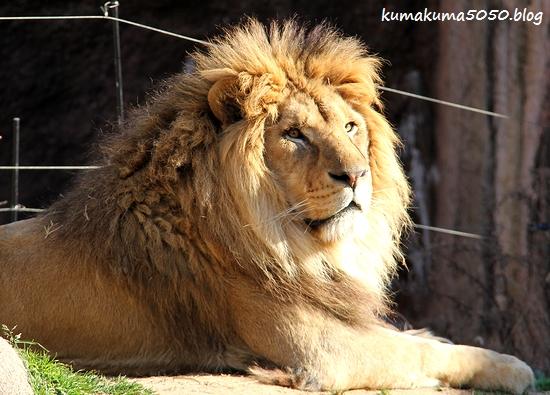 ライオン_1738