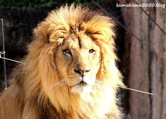 ライオン_1740