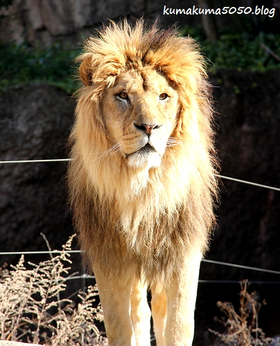ライオン_1742