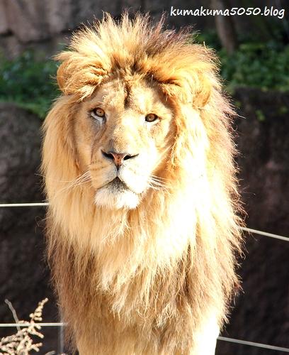 ライオン_1743
