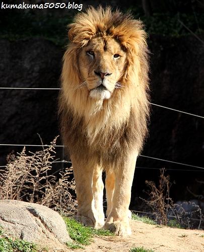 ライオン_1744