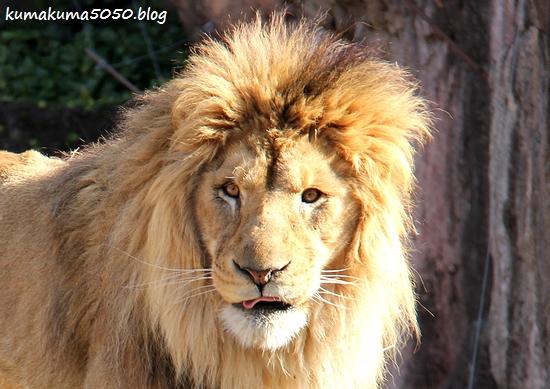ライオン_1748
