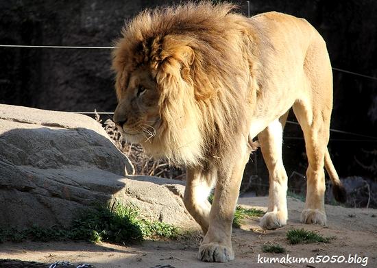ライオン_1749