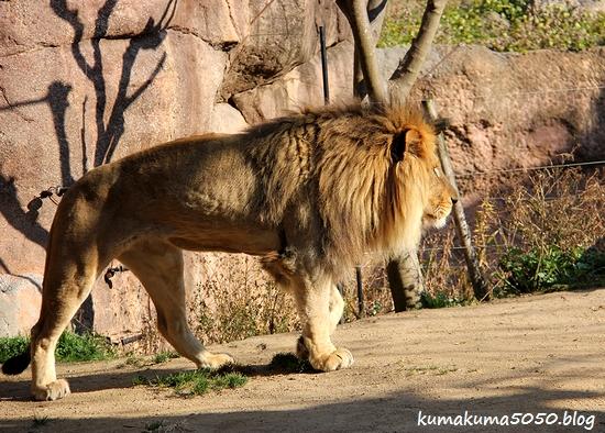 ライオン_1750