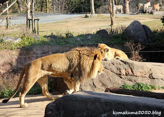 ライオン_1751