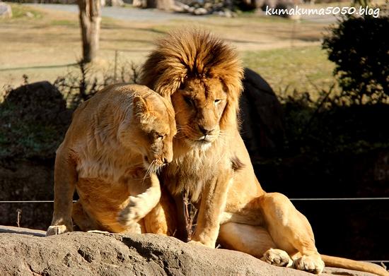 ライオン_1758