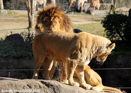 ライオン_1759