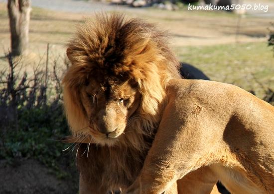 ライオン_1760