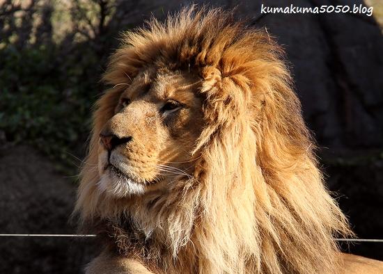 ライオン_1762