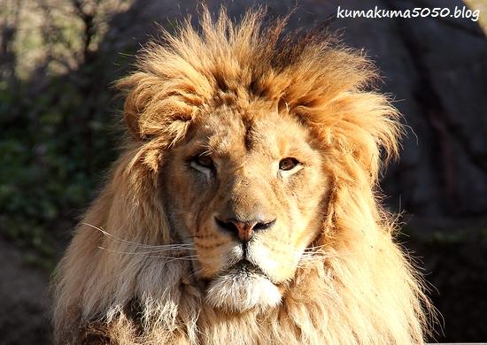 ライオン_1765