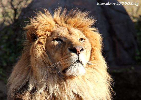 ライオン_1766