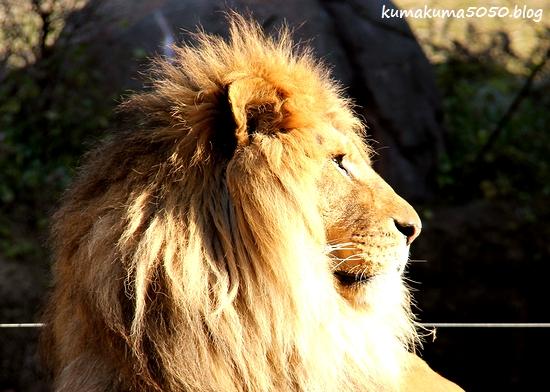 ライオン_1767