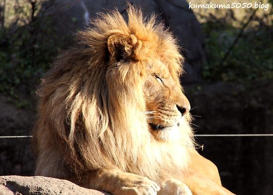 ライオン_1768