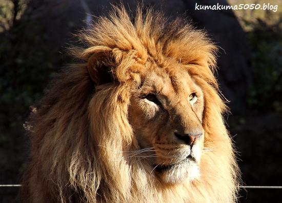 ライオン_1769