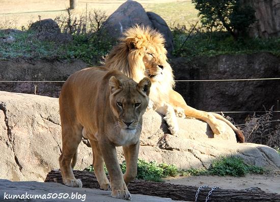 ライオン_1771