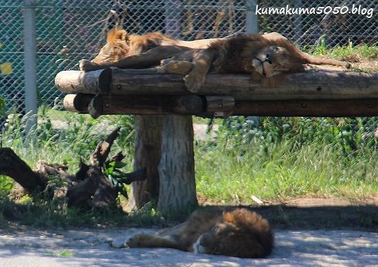 ライオン_1778