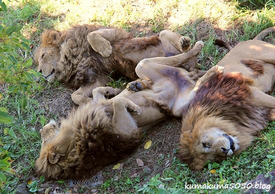 ライオン_1788
