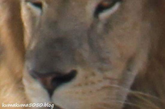 ライオン_1797