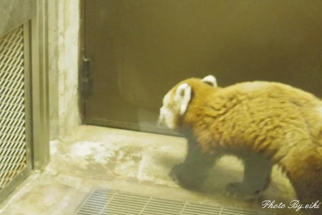 埼玉県こども動物自然公園のれっサーパンダの写真