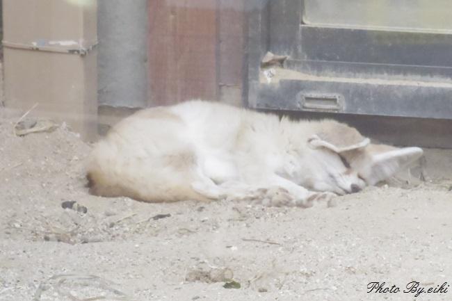 埼玉県こども動物自然公園のフェネックの写真