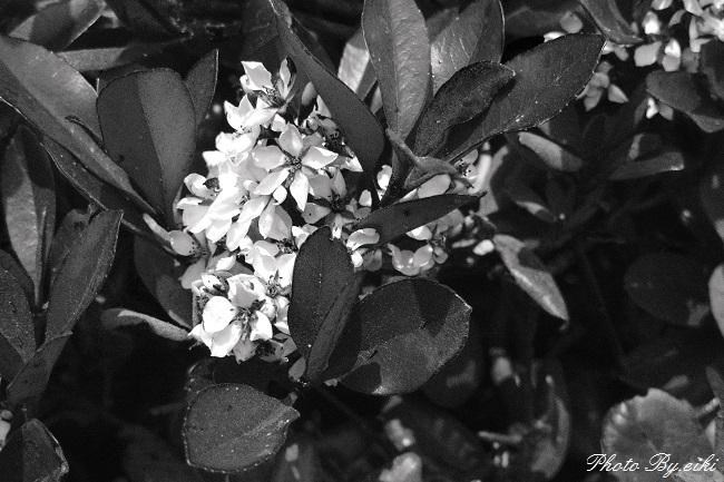 青海南ふ頭公園の花のモノクロの写真