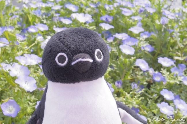 Suicaペンギンとネモフィラの写真