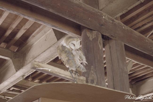 埼玉県こども動物自然公園のメンフクロウの写真