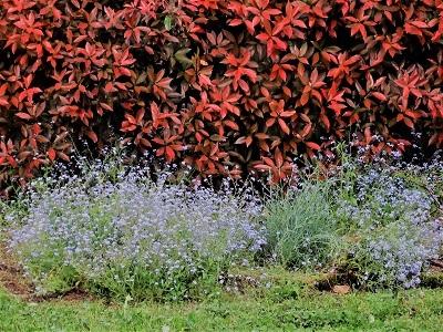 ずっと咲いてるワスレナグサ