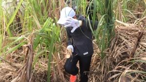 冬の沖縄を満喫する厳選の体験、アクティビティ!「サトウキビ狩り体験」!糖度が最高の季節が冬なんです♪