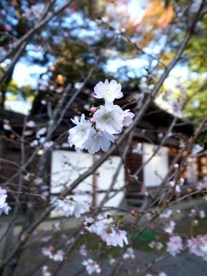 平野神社・十月桜1711