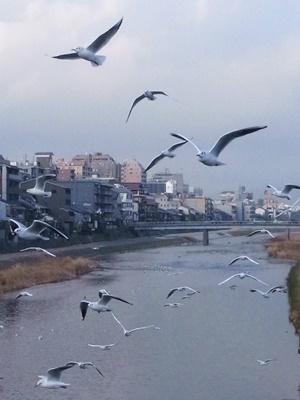鴨川とユリカモメ1801